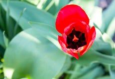 Tulip bud close-up Stock Photos