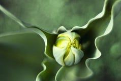 Tulip bud Royalty Free Stock Image