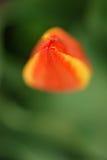 Tulip bud detail Royalty Free Stock Photos