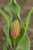 Tulip bud detail and green leafs Stock Photography