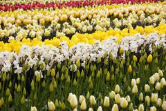 Tulip Bud and Flower Field Stock Photography