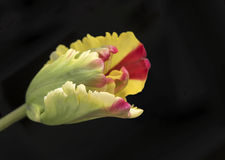 Free Tulip Bud. Opening Parrot Tulip In Green, Yellow And Red  Royalty Free Stock Photos - 51366478