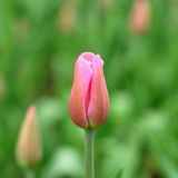 Tulip bud Royalty Free Stock Photo