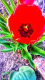 Tulip bud from top stock photos