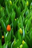 Tulip Buds fotografia stock