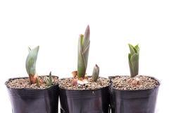 Tulip Buds Stockbilder