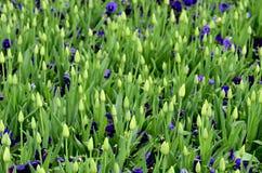 Tulip buds Stock Image