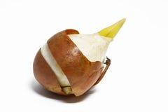 Tulip bulb Royalty Free Stock Photo