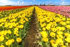 Tulip Bulb Farm Lizenzfreie Stockbilder