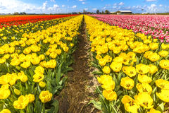 Tulip Bulb Farm Royalty Free Stock Images