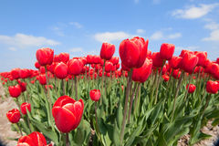 Tulip bulb fields in Holland Royalty Free Stock Image