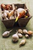 Tulip bulb Stock Image