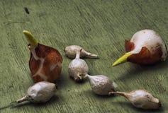 Tulip bulb Royalty Free Stock Photos