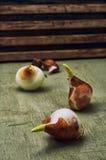 Tulip bulb Stock Photography