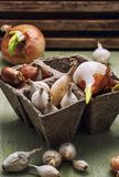 Tulip bulb Stock Images