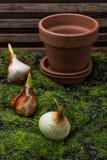 Tulip bulb Stock Photo