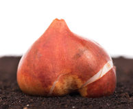 Tulip bulb. On the organic soil over white background royalty free stock image
