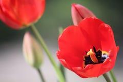 Tulip Bulb vermelha inteiramente aberta com centro amarelo e preto Imagens de Stock