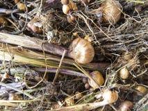 Tulip Bulbs Fotografia Stock