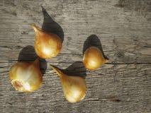 Tulip Bulbs Imagen de archivo