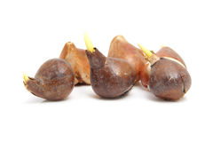 Tulip bulbs. Dutch tulip bulbs isolated on white background Royalty Free Stock Images