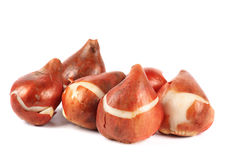 Tulip Bulbs. A group of tulip bulbs on white Royalty Free Stock Images