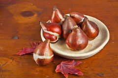 Tulip Bulbs. And autumn maple leaves on an old wooden table Royalty Free Stock Photography
