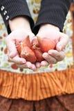Tulip Bulbs. Gardener's hands holding tulip flower bulbs before planting Royalty Free Stock Photo
