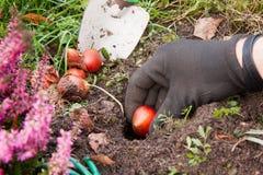 Tulip Bulbs Stock Afbeelding