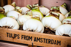 Tulip bulbs in Amsterdam. Tulip bulbs to be sold at the flower market in Amsterdam, Holland Stock Photo