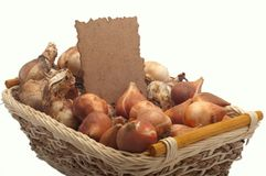 Tulip bulbs and daffodils. In a basket Royalty Free Stock Image