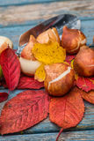Tulip Bulbs Royalty Free Stock Images