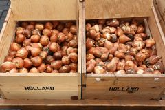 Tulip bulbs. At a flower market in Amsterdam, Netherlands stock photos
