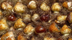 Tulip Bulbs. Flower Parade. Netherlands, 2014 Royalty Free Stock Images