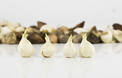 Tulip bulbs stock images