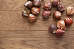 Tulip bulbs for gardening. Close up tulip bulbs on wooden background Stock Photography