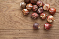 Tulip bulbs for gardening. Close up tulip bulbs on wooden background Stock Photos