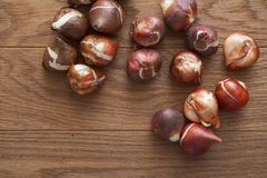 Tulip bulbs for gardening. Close up tulip bulbs on wooden background Stock Image