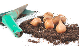 Tulip bulbs in the ground with planter Stock Photo