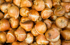 Tulip Bulbs. Lots of tulip bulbs for sale on a market stall Stock Images