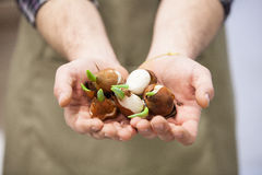 Tulip bulbs Stock Photography