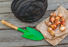 Tulip bulbs in a paper bag basket for planting bulbs. On a wooden background Stock Photo