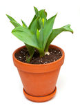 Tulip bulbs in a pot Stock Photo