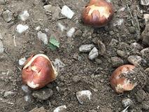 Tulip Bulbs read to plant. Tulip bulbs read to put into the ground Stock Photos