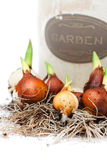 Tulip  bulbs ready for planting and flowerpot. Tulip  bulbs ready  for planting and flowerpot Royalty Free Stock Image