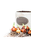 Tulip bulbs ready for planting and flowerpot isolated. Tulip  bulbs ready for planting and flowerpot isolated Royalty Free Stock Photography