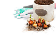 Tulip bulbs ready for planting and garden tools isolated. Tulip  bulbs ready for planting and garden tools isolated Royalty Free Stock Photo