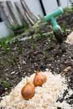 Tulip bulbs ready for planting. Stock Image