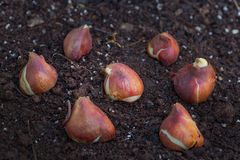 Tulip Bulbs. Ready to plant in the home garden Royalty Free Stock Photography