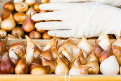 Tulip bulbs stored in the boxes , cleaned and prepared bulbs in the farmer's  storage Royalty Free Stock Photo